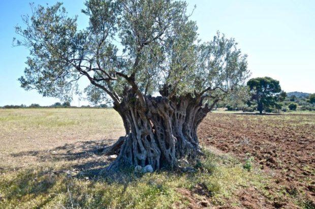 Οι ελιές της Ερμιονίδας και η ιστορία τους